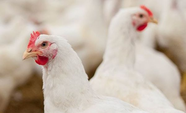 How To Use Story To Evolve A Poultry Brand